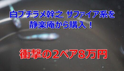 白ブチラメ幹之 サファイア系を静楽庵から購入!衝撃の2ペア8万円